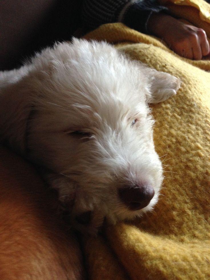 17 best ideas about husky poodle mix on pinterest poodle