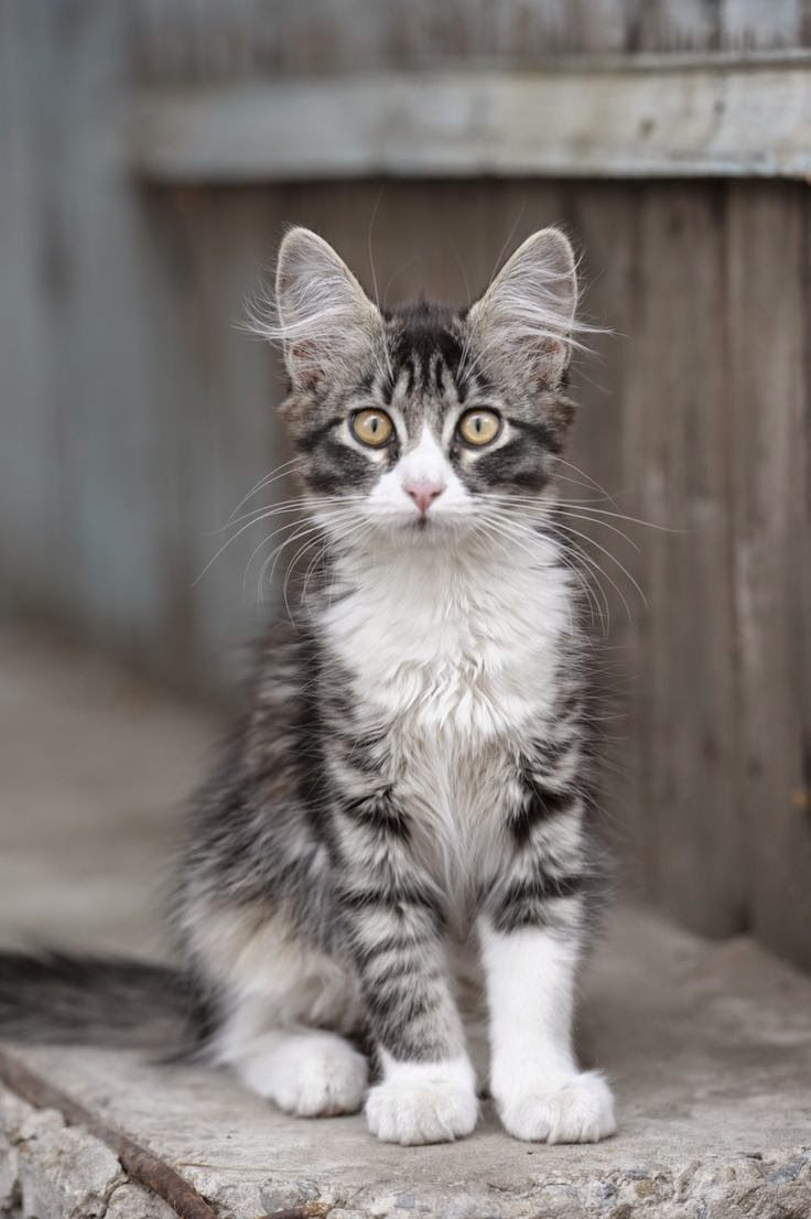 1 MAINE COON Top 5 Kids Friendly Cat Breeds CATS