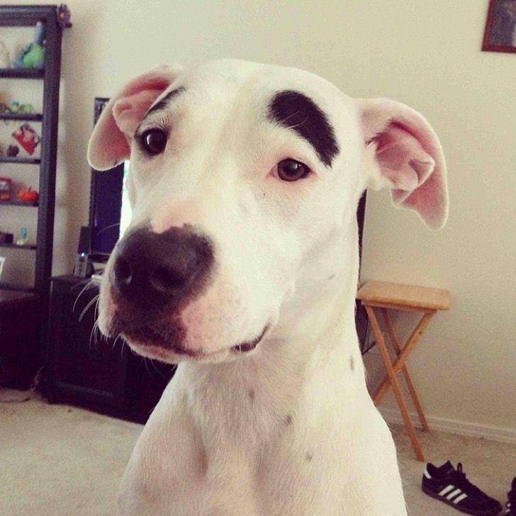 10 divertidos perros con cejas que los hacen parecer humanos con mucho cabello encima