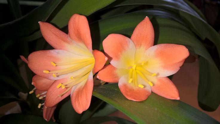 Klivia's flowers.