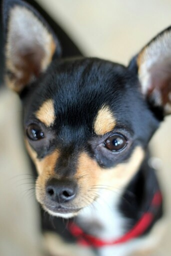 min pin chihuahua miniature pinscher zwergpinscher min pin king of the 5877