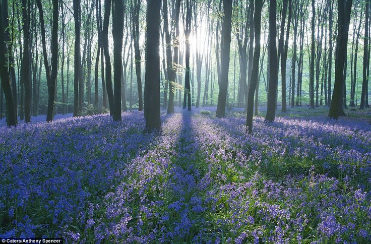 Basingstoke, England - Micheldever Wood in springtime when the bluebells are in bloom
