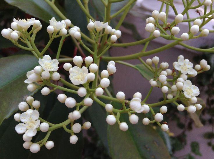 Capullitos de flores blancas