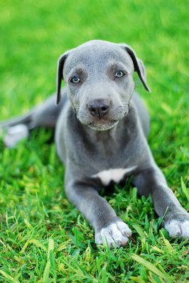 Blue Lacy- the official state dog of Texas. Good pick.