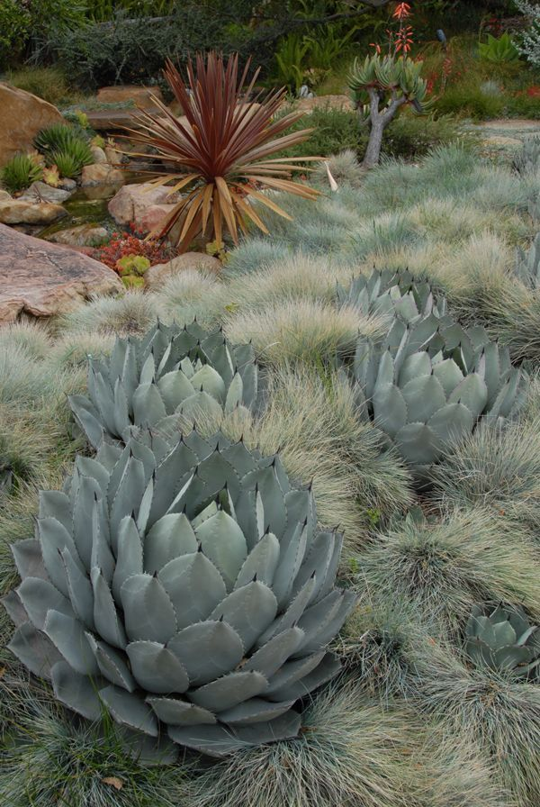 California Cabbage Agave, Agave parryi, nestled in a field of blue fescue, festuca glauca, create a stunning contrast of texture.  Both plants are wonderfully heat and drought tolerant.