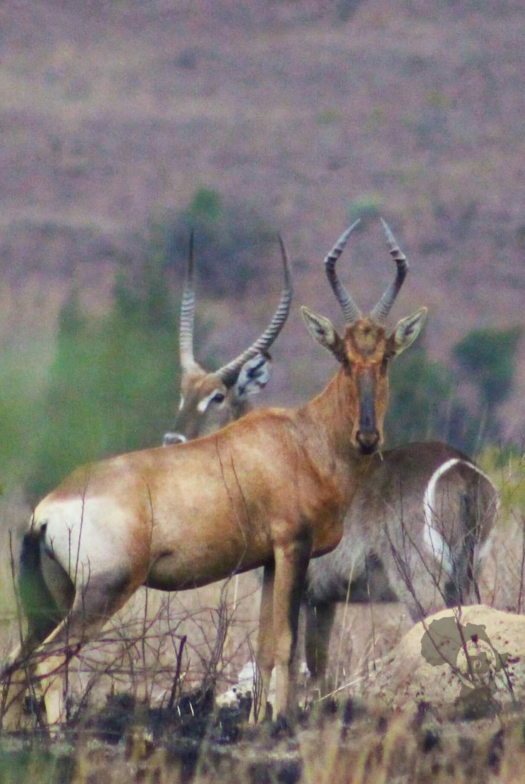 For the love of nature! Waterbuck and red hartebeest #offtoafricasafaris #waterbuck #redhartebeest