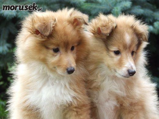 Cutte shetland dog puppies