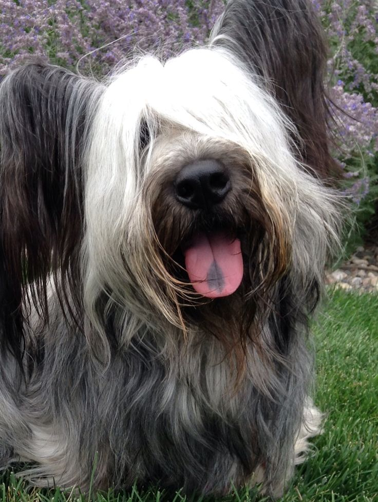 Adorable Skye Terrier, Shadow! Skyes are a wonderful but very rare breed…