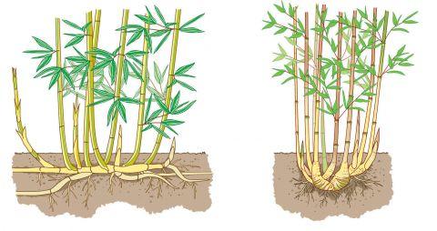 bambus pflanzen pflege und tipps wurzeln bambus und g rten. Black Bedroom Furniture Sets. Home Design Ideas