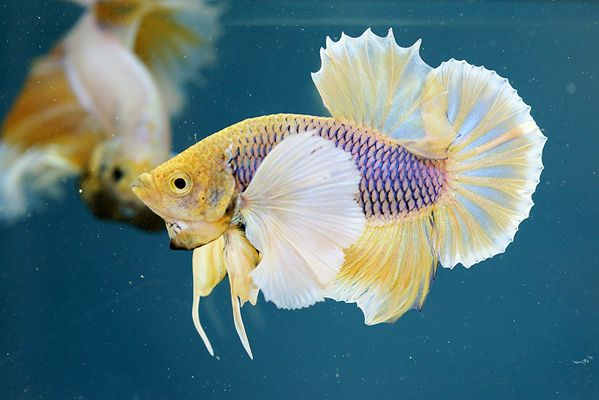 Purple gas big ear halfmoon plakat fancy bettas for Big betta fish