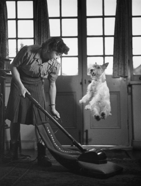 Circus Dog Asta, a wire-haired terrier, jumps to avoid being vacuumed up. Photo by Kurt Hutton ca. 1949. ☚