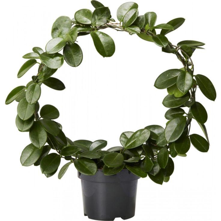 Hoya på bøyle - Plantasjen.no