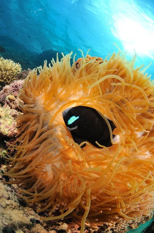 Endemic to Lord Howe - Mcculloch's Anemone fish  www.lordhoweisland.info