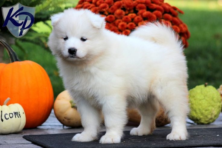 Princess – Samoyed Puppies for Sale in PA | Keystone Puppies