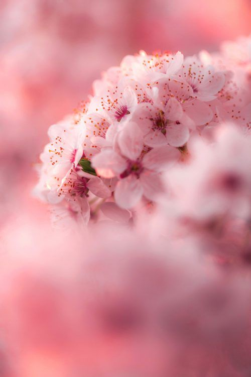 Flower Wallpaper For Mobile Phone with Cherry Blossoms in Close Up