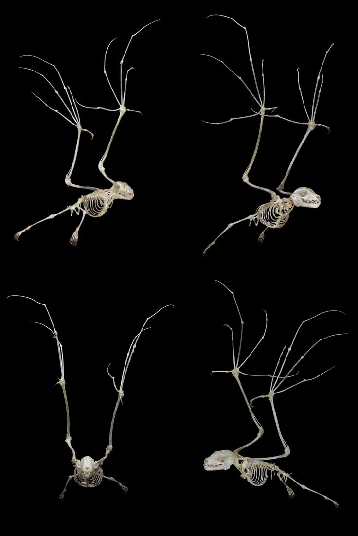 21 Best Animal World Anatomy Images On Pinterest Skeletons Snake Skeleton Diagram Pictures Becuo Bat Articulated By Ryan Matthew