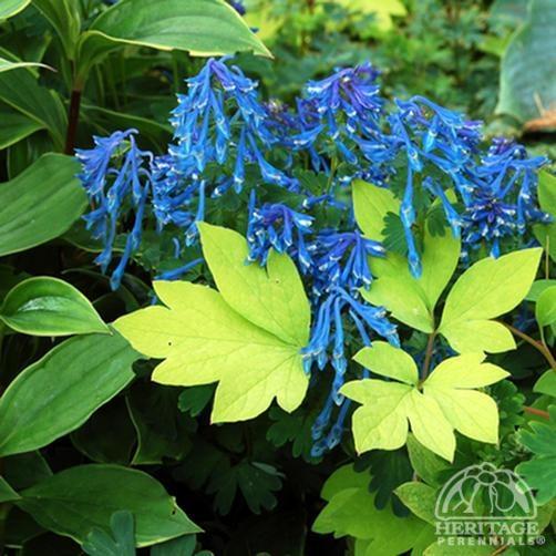 Partial Shade. USA Hardiness Zone 5 9. Deep Blue Flowers