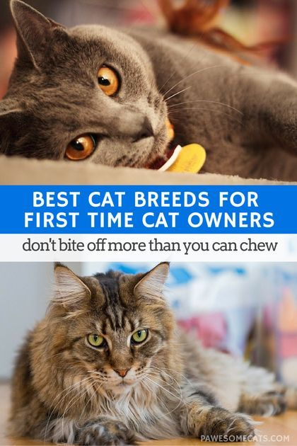 Some cats are more of a handful than others. Here's our list of cat breeds for first time cat owners to ensure you don't bite off more than you can…: