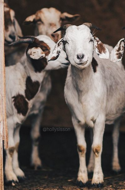 Gorgeous goats! <3 ~ETS #adorableness #gorgeouscreatures