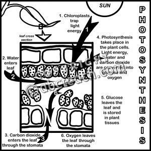 Clip Art: Photosynthesis: Leaf Cross Section B&W