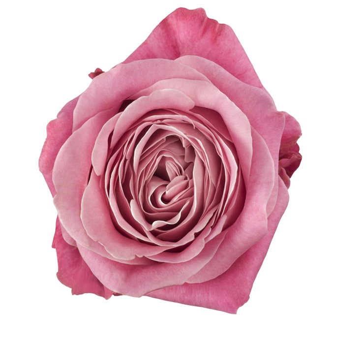 All4Love+ Everybody Love This Rose, Because This Real
