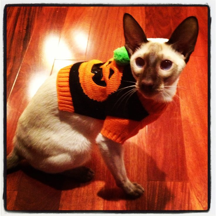 2244 best images about halloween amp fall cats on pinterest