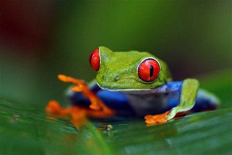 These frogs are so cool even thou they're poisonous!