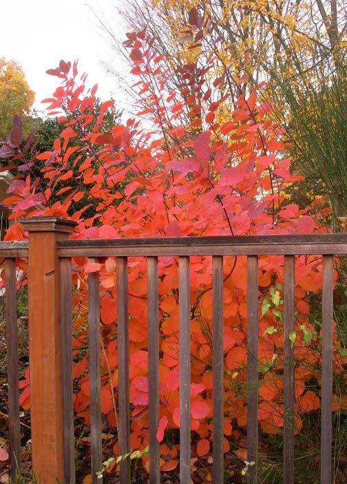 Best Plant for Seattle Fall Color | Smoke tree, Cool ...