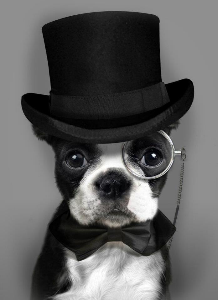 Bostons =)Puppies, Dogs, Like A Sir, Boston Bull, Sherlock Holmes,  Boston Terriers, Likeasir, Animal, Tops Hats
