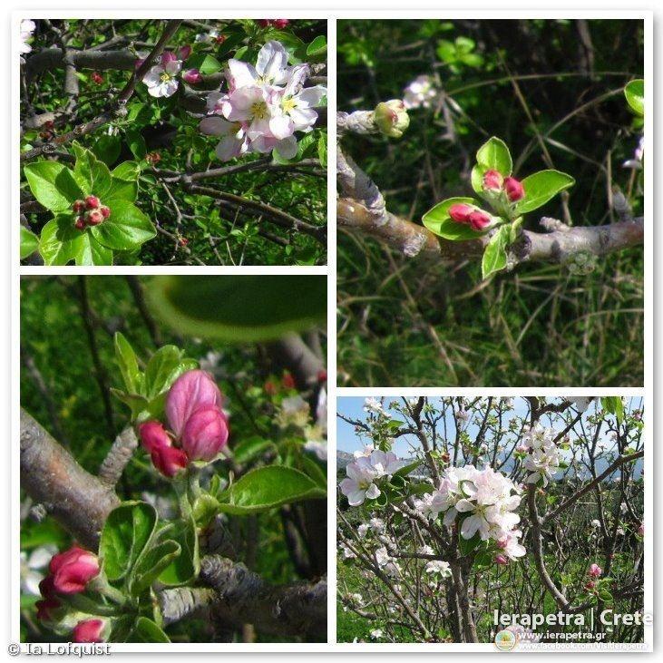 Nature is bursting!    Hiking Ierapetra - Vainia - Kato Horio - Panagia Evangelistria - Stavros - Ierapetra in March     Copyright: Ia Löfquist