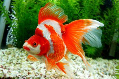 Quality Ryukin Goldfish