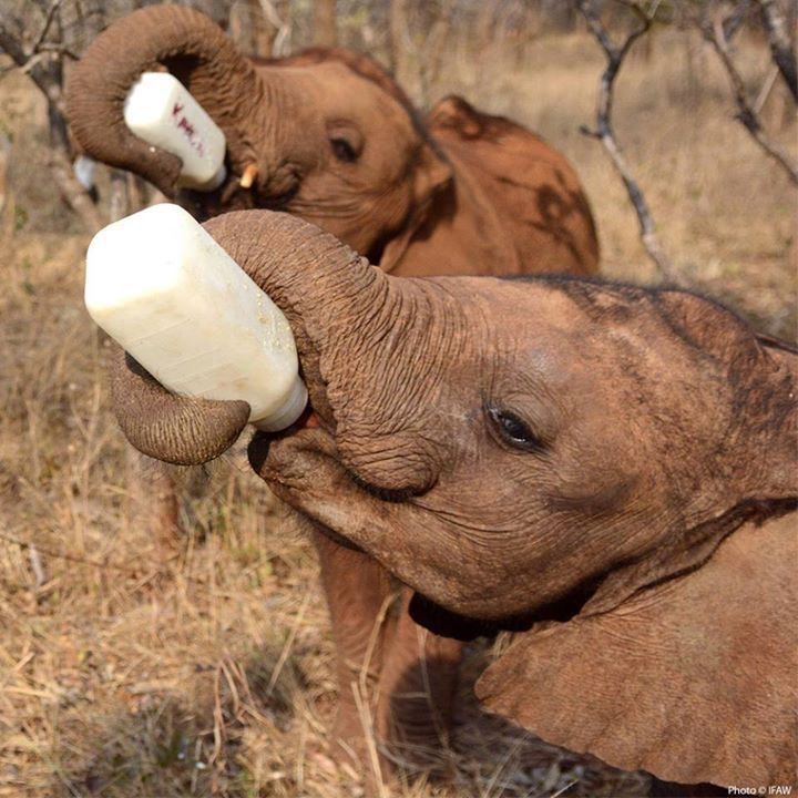 Orphaned baby elephants drinking their bottles