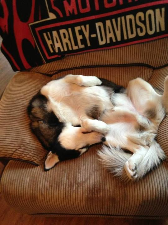Siberian Husky twisted & curled up, upside down in the chair via Texas Husky Rescue.