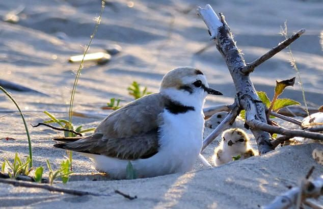The symbol of the Reserve of Punta Aderci: bird fratino
