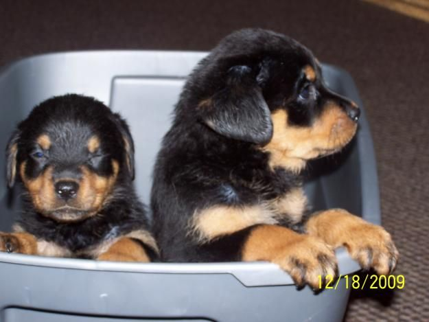 rottweiler puppies for sale in california | Zoe Fans Blog