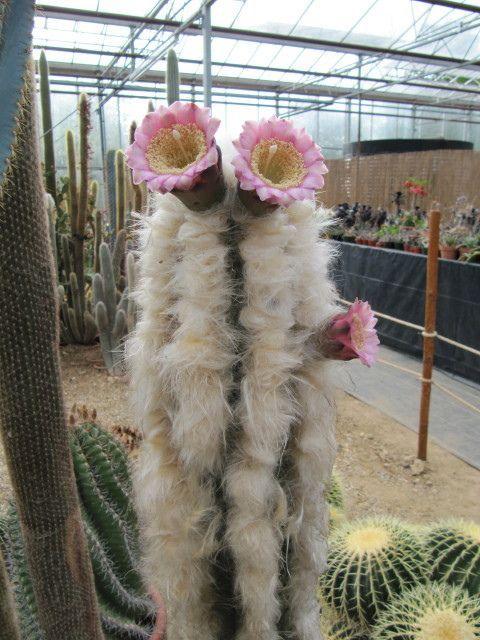 Pilosocereus leucocephalus RARE PLANTS http://www.pinterest.com/ta2tokitomo/rare-plants/