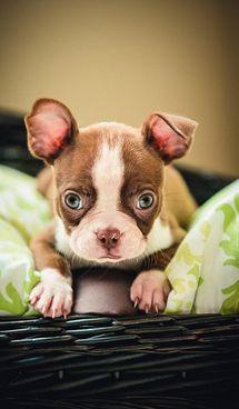 Cute As A Button Red Boston Terrier Puppy
