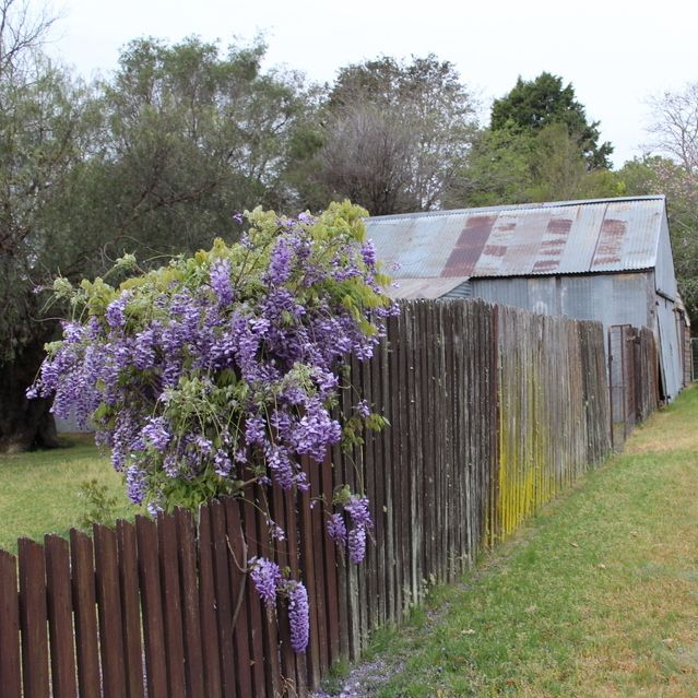 Completely forgot about the clock change for daylight savings - walking in the dark again.  I am not a fan of daylight savings. Good news is that we finally got a little rain.  Wisteria and a tin shed - brightening a grey morning in the country.  #startthedaywithsomethingbeautiful