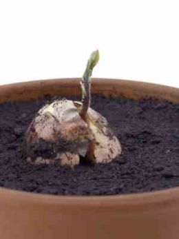 an almost foolproof way to grow an avocado plant from a seed - Grow An Avocado