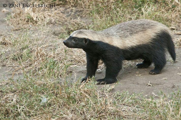 My favorite animal the honey badger. Photo taken in South Africa