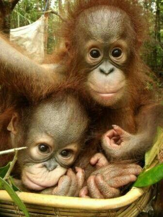 "Two Cute Baby Orangutans.  ""Orangutans"""