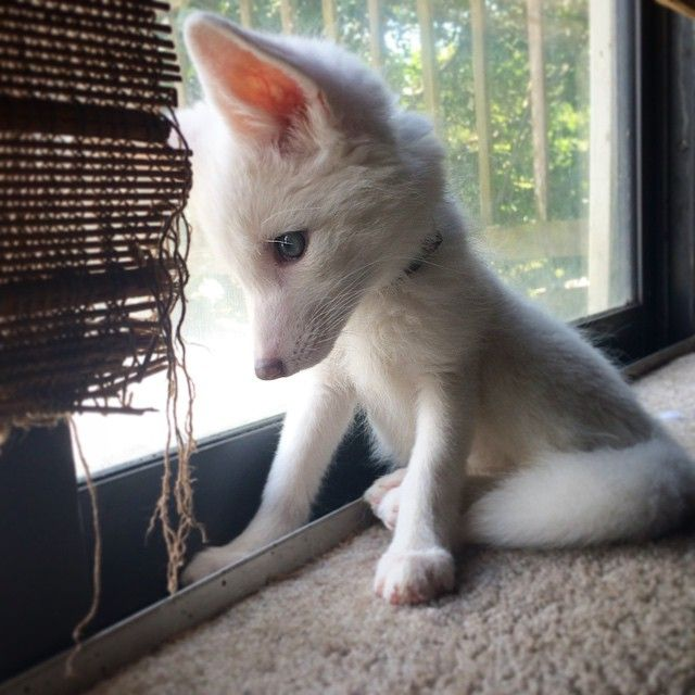 The Internet's cutest snow-white fox named Rylai is growing up - BoredPanda