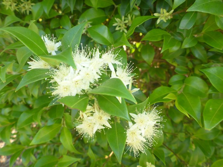 Cinnamon Myrtle, (Backhousia myrtifolia), taken in Byron Bay by Greg Trevena