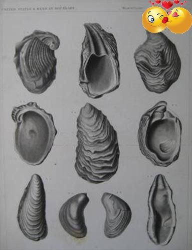 "A detailed lithographic print of #fossilized shells by WIllaim H. Emory from his ""Report of the United States and Mexican Boundary #Survey, made under the directi..."