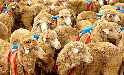 M Los perros pastor utilizan dos sencillas reglas para manejar a sus rebaños