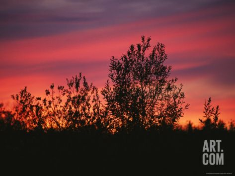Sunset Silhouettes the Birch Trees Along the Mackenzie River Stretched Canvas Print by Raymond Gehman at Art.com