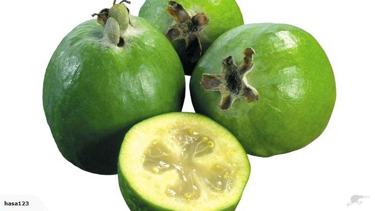 Healthy FEIJOA TREE- Sweet Variety