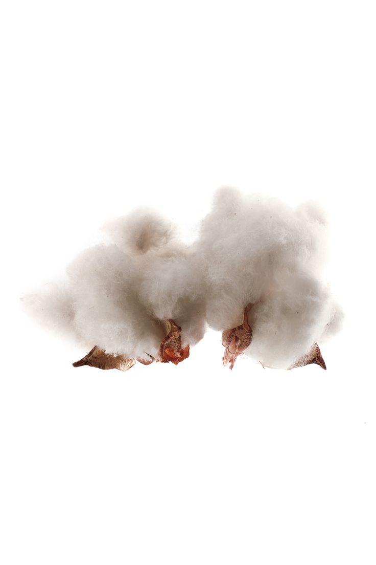una de nubes- en un clima como el nuestro las precipitaciones mas intensas se recogen en otoño y primavera me asomo a la ventana y sólo veo nubes de algodón flotando por un cielo impecable cúmulos esponjosos y dispersos que se mueven suavemente mecidos por un viento frío nubes de buen tiempo, dicen  pues no, no hace buen tiempo, ¡carajo!     especie: copos de algodón Gossypium sp. aún en su rama recolección: Sevilla