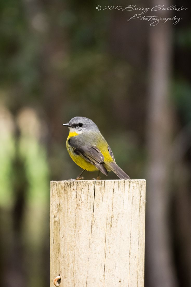 An Eastern Yellow Robin perched on the post of the fence near our house.