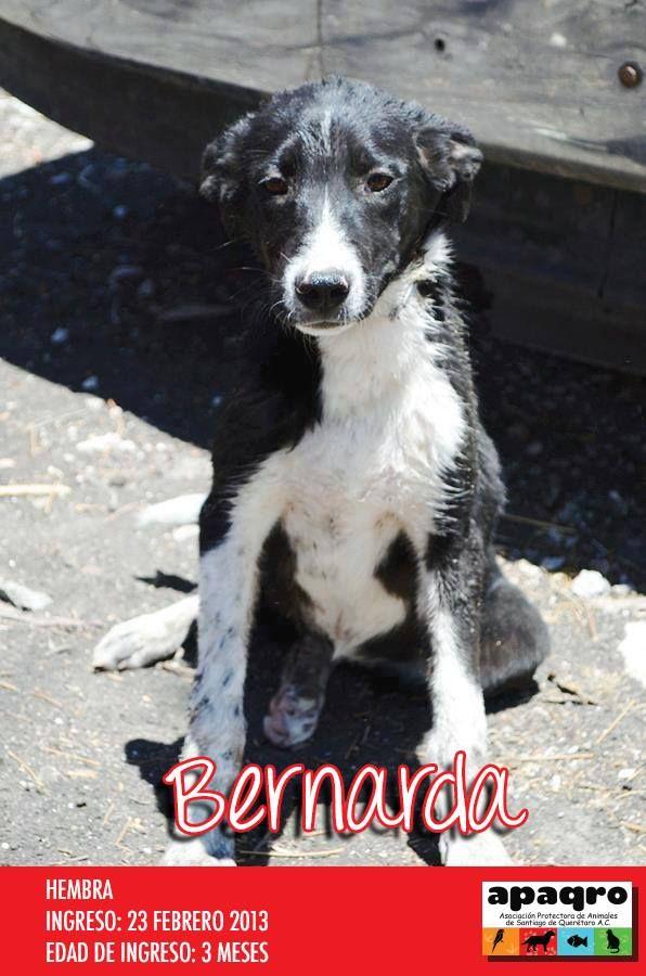 Mascotas. Amigos. Adopta un perro. Dale un hogar. Adopta No Compres. Querétaro, México.   Apaqro.com  https://www.facebook.com/media/set/?set=a.218509254831335.71142.152335428115385&type=1